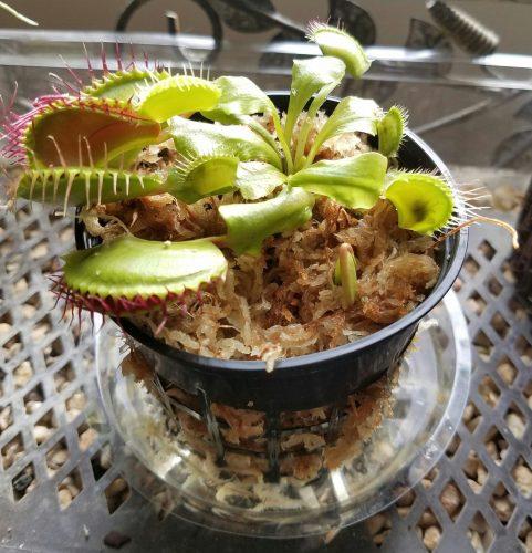 """1x Adult Plant: Giant Venus Flytrap """"B52"""" Dionaea Muscipula Cultivar photo review"""