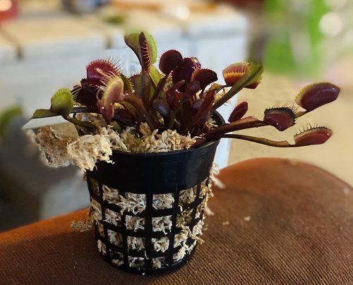"1x Adult Plant: Red Dragon Venus Flytrap ""Akai Ryu"" Dionaea Muscipula Cultivar photo review"