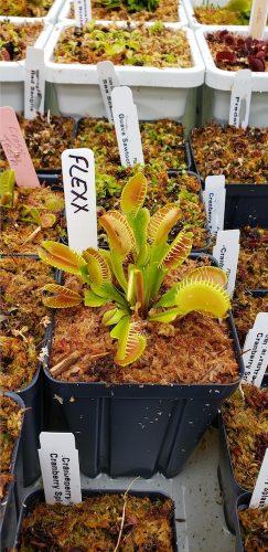 """1x Adult Plant: Giant Venus Flytrap """"Flexx"""" Dionaea Muscipula Cultivar photo review"""